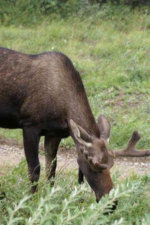 Jonge Moose voeden op Willows