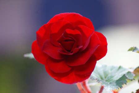 Laatste van het seizoen Perfect Red Begonia