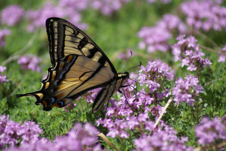 Vlinder Stockfoto