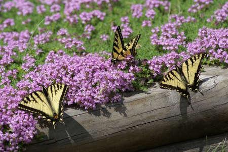 Drie Vlinders Stockfoto