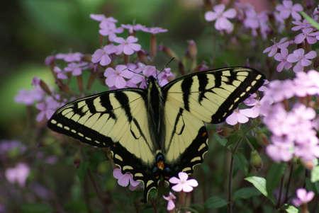 Feeding Butterfly Stockfoto