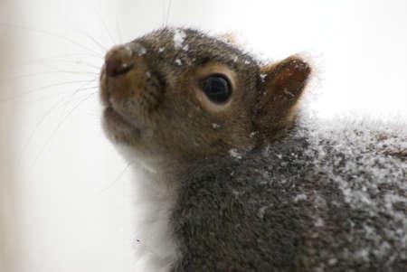 Grijze Eekhoorn met sneeuw