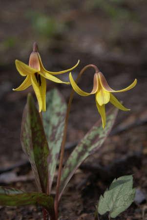 Wild Pair Flower