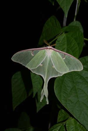 Luna Moth Stockfoto