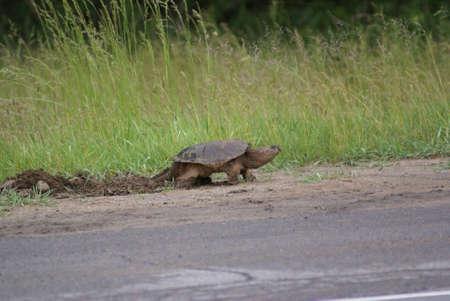 Brekende Schildpad Stockfoto