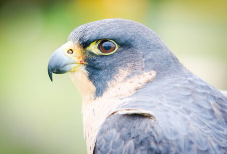 falco peregrinus: Birds of prey. Close-up of an Peregrine Falcon