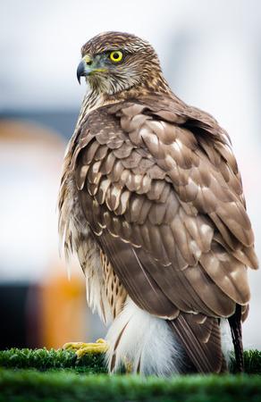 bird of prey: Bird of prey. Short-toed Eagle
