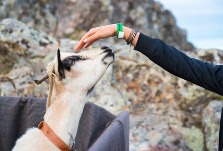 Girl hand that stroked the goat during celebration of Almossassa in Marvao, Portugal Stock Photo