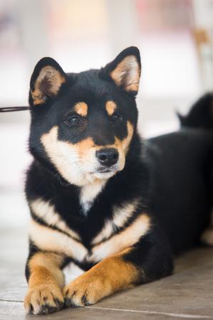 Portrait of an Entlebucher Sennenhund