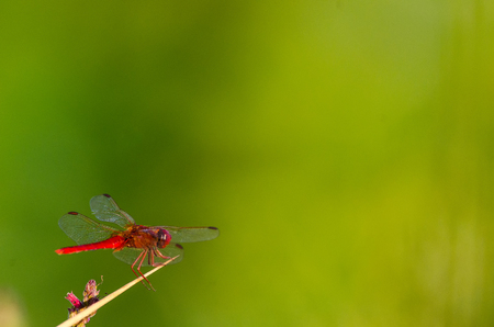 Gomphus vulgatissimus or red dragonfly on nature with great copy space for text Stock Photo