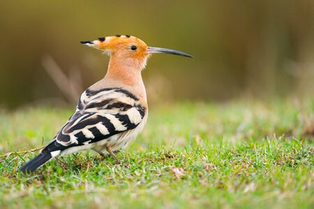 europeans: Common Hoopoe or Upupa epops, beautiful bird. Copy space for text