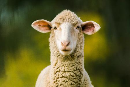 schapen die camera op groene achtergrond bekijken. Ruimte voor tekst kopiëren