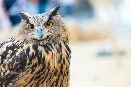 Portrait of an Eurasian Eagle Owl or Bubo Bubo Hispanus. Copy space for text