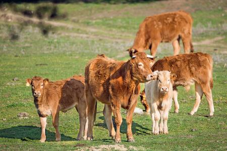 cow and calf looking at camera