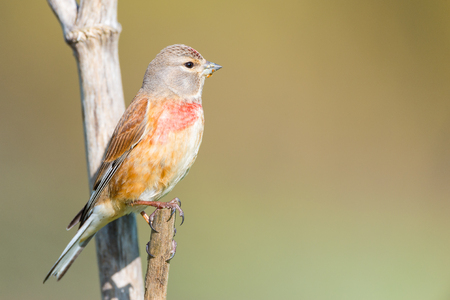 Male carduelis cannabina or pardillo comun with copy space for text