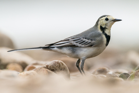 Close up portrait of Motacilla alba or White Wagtail Stock Photo