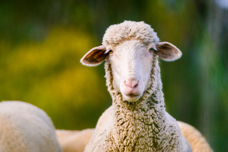 sheep looking at camera on green background. Copy space for text Stock Photo