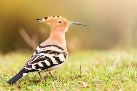Common Hoopoe or Upupa epops beautiful bird. Copy space for text