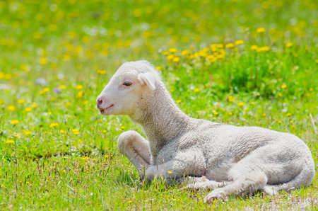 Cute little lamb resting in a meadow