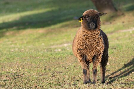 brown sheep ewe looking directly at camera in the Spring Stockfoto