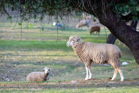 Lamb walking in the field