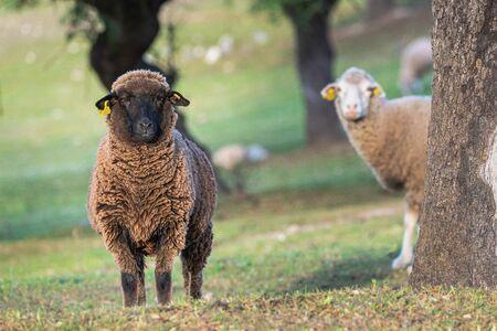 brown sheep ewe looking directly at camera in the Spring 版權商用圖片