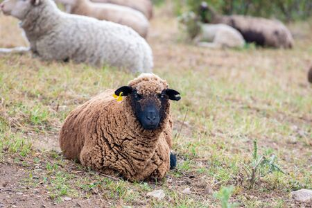 a black sheep resting in the field and looking at camera