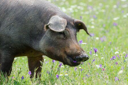 portrait of Iberian pig herd (pata negra) eating in a flower field 版權商用圖片