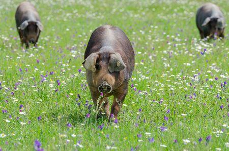 Pigs graze on farm in countryside of Badajoz, Extremadura