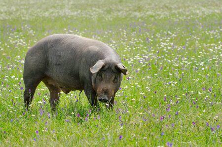 Porträt der iberischen Schweineherde (Pata Negra) in einem Blumenfeld Standard-Bild
