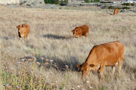 Beef cows grazing in the pastures of Extremadura in Spain 版權商用圖片