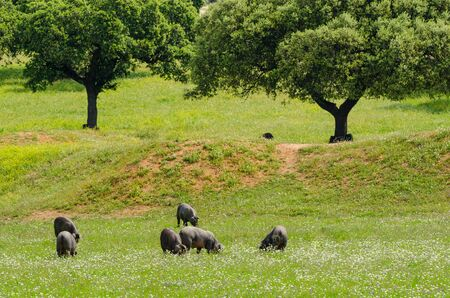 Pigs graze on farm in countryside of Badajoz, Extremadura