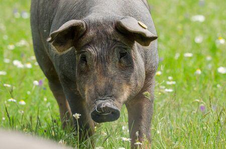 portrait of Iberian pig herd (pata negra) in a flower field