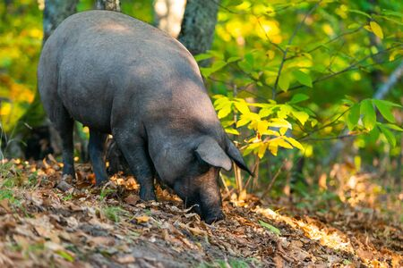 freedom pig eating in the field