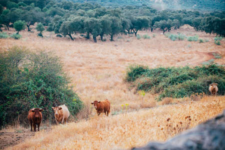 cows and bulls in the pasture of extremadura.