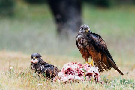 Black Kite or Milvus migrans eating meat