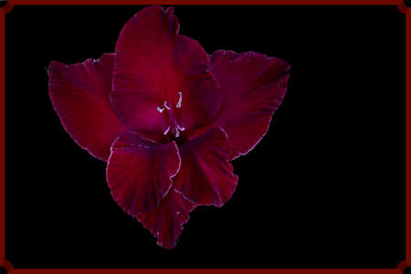 Isolate on a black background in a red frame. Dark red solemn blooming gladiolus. Banco de Imagens