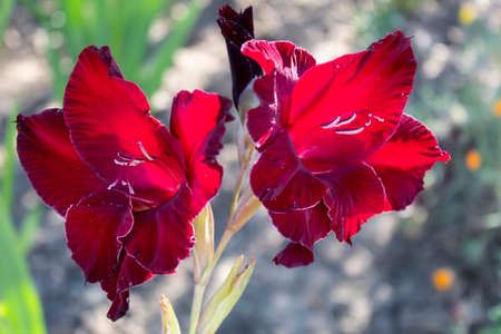 In the summer, a bright red, solemn gladiolus bloomed. Imagens