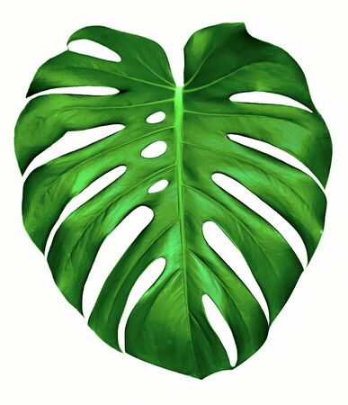 tropical leaves: Big green leaf of Monstera plant, isolated on white. Stock Photo