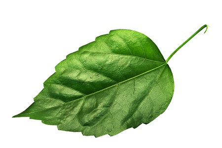 Big green leaf isolated on white.