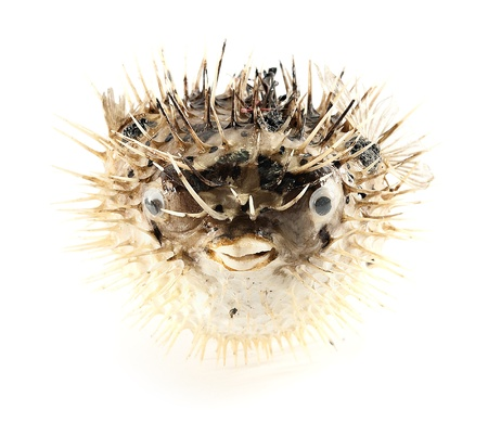 blowfish: Sea souvenir- dried blowfish, isolated on white.