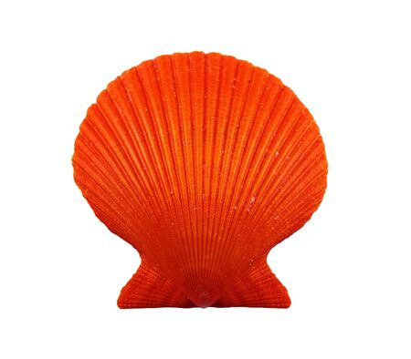 scallop shell: Red sea scallop, isolated on white.