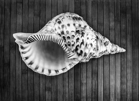 Monochrome image of Charonia tritonis or Triton Stock Photo - 20671626