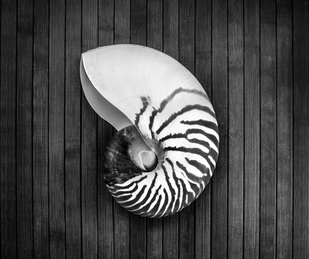 b w: Monochrome image of striped nautilus on a wooden background  Stock Photo