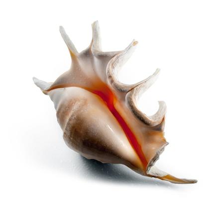 �spiked: Blanco concha de caracol de pinchos con gotas de agua Foto de archivo