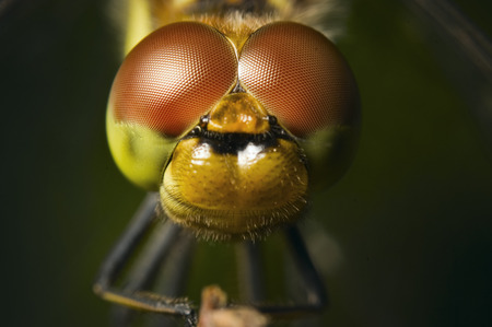 spotted: four spotted chaser