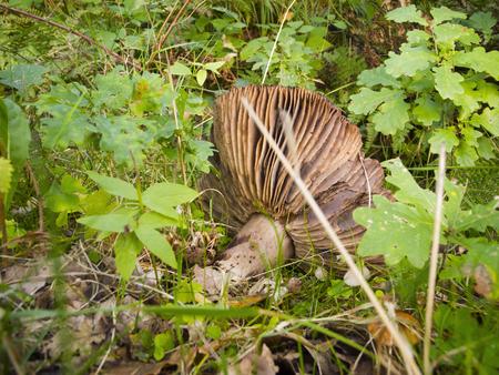 maleza: parasol mushroom falingl down