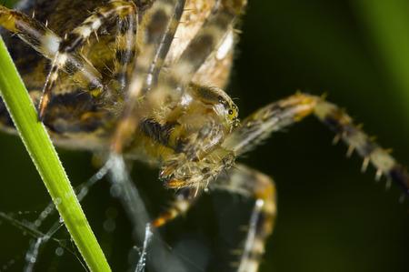 macro of cross spider front Stock Photo