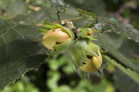 Hazelnut unripe at tree
