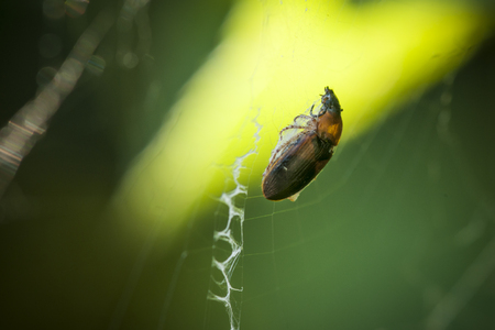 Beetle in spider web